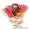ENOVO颐诺女性骨盆腔模型血管神经生殖系统子宫妇产科教学模型