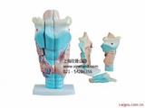 喉头解剖模型,喉模型