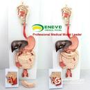 ENOVO颐诺医学人体消化系统模型消化道腺内科解剖结构器官教具