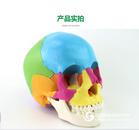 ENOVO颐诺医学用人体头骨模型微整形美容教学头颅骨可拆22部件