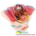ENOVO頤諾女性骨盆腔模型血管神經生殖系統子宮婦產科教學模型