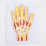 ENOVO颐诺医学用 人体手关节肌肉模型 腕关节剖面手关节构造MRI关节肌肉骨骼解剖 骨科教学