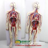 ENOVO頤諾人體血液循環系統模型體肺循環心血管介入心臟解剖模型