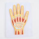 ENOVO頤諾醫學用 人體手關節肌肉模型 腕關節剖面手關節構造MRI關節肌肉骨骼解剖 骨科教學