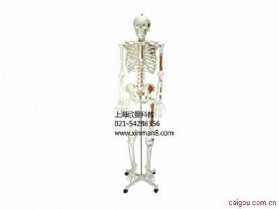 人体骨骼附半边肌肉着色模型