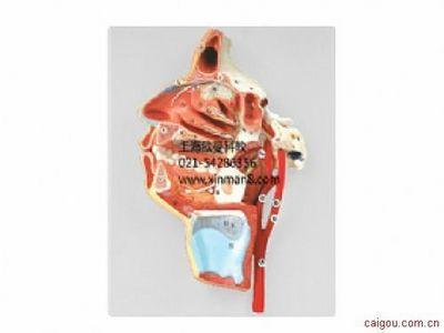口、鼻、咽、喉内侧面血管神经模型