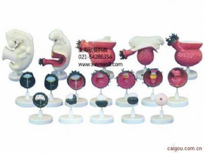 人体胚胎模型