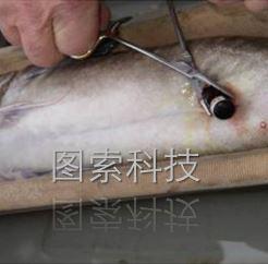 鱼类放流声学跟踪定位标记