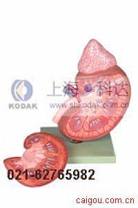 肾脏与肾上腺放大模型