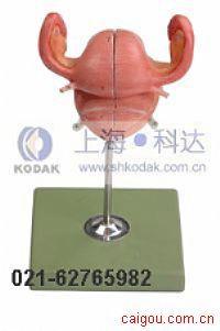 子宫解剖模型