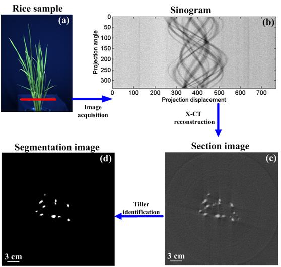 高通量植物分蘖测量系统(PhenoTiller V1.0)