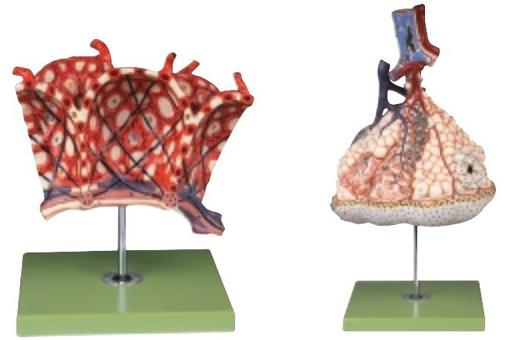 该模型显示终末细支气管,呼吸性细支气管,肺泡上皮等结构,共有25个