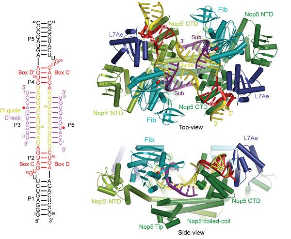 c/d rna复合物催化rna核糖甲基化结构机理