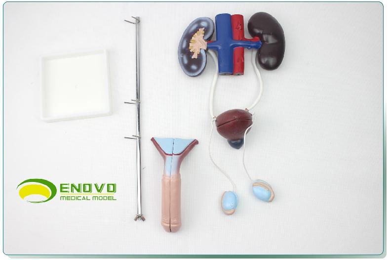 男性泌尿生殖系统模型人体泌尿系统解剖模型肾脏膀胱阴茎睾丸